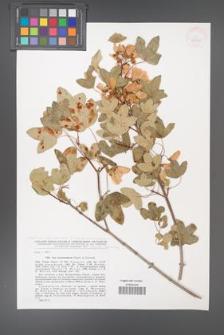 Acer monspessulanum [KOR 42910]