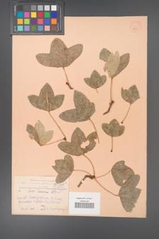 Acer ibericum [KOR 11243]