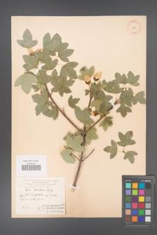 Acer ibericum [KOR 11245]