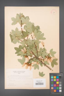 Acer ibericum [KOR 11241]