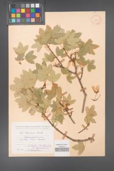 Acer ibericum [KOR 11240]