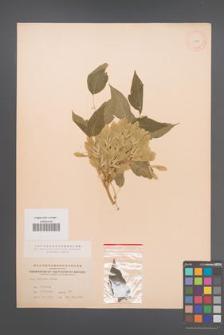 Acer negundo [KOR 11445]