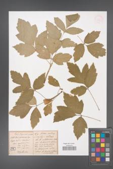 Acer californicum [KOR 33385]