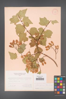 Acer obtusifolium [KOR 11484]