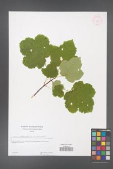 Acer obtusatum [KOR 53930]