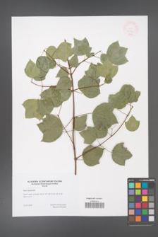 Acer obtusifolium [KOR 47193]