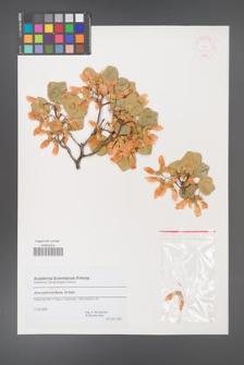 Acer obtusifolium [KOR 44754]