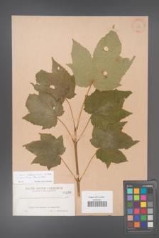 Acer nipponicum [KOR 180]