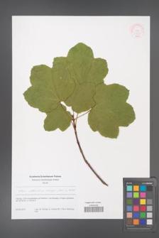 Acer obtusatum [KOR 51227]