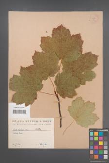 Acer opalus [KOR 74a]