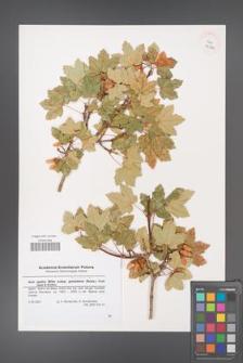 Acer opalus [KOR 43230]