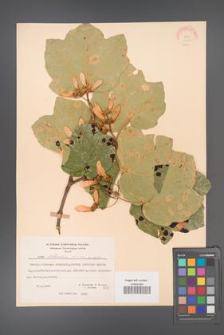 Acer obtusatum [KOR 20889]
