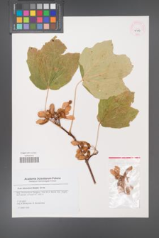 Acer obtusatum [KOR 45713]