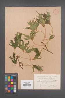 Acer platanoides [KOR 60b]