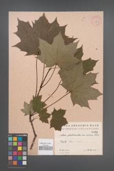 Acer platanoides [KOR 62b]