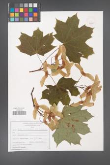 Acer platanoides [KOR 47545]