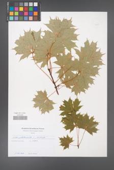 Acer platanoides [KOR 49697]