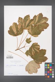Acer platanoides [KOR 49706]