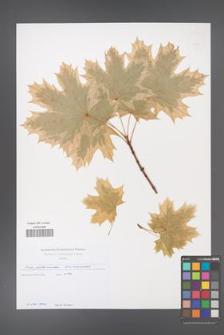 Acer platanoides [KOR 49725]