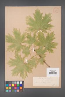 Acer platanoides [KOR 33562]