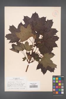Acer platanoides [KOR 33564]