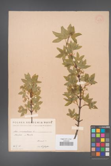 Acer monspessulanum [KOR 1631]