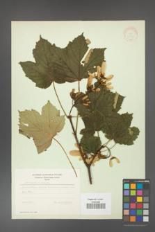 Acer pseudoplatanus [KOR 11430]