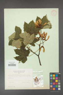 Acer pseudoplatanus [KOR 11429]