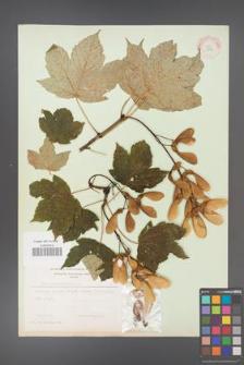 Acer pseudoplatanus [KOR 11476]