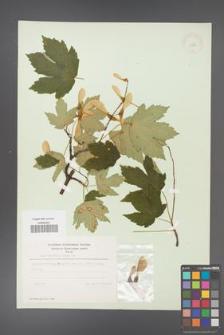 Acer pseudoplatanus [KOR 11459]