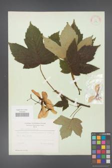 Acer pseudoplatanus [KOR 11475]