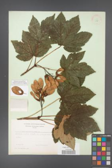 Acer pseudoplatanus [KOR 11461]