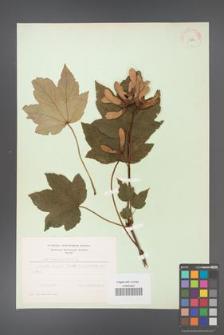 Acer pseudoplatanus [KOR 11462]