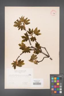 Acer pseudoplatanus [KOR 5570]