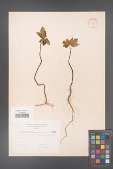 Acer pseudoplatanus [KOR 5571]