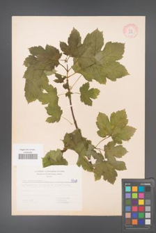 Acer pseudoplatanus [KOR 5568]