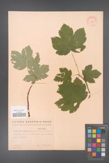 Acer pseudoplatanus [KOR 1809]