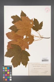Acer pseudoplatanus [KOR 33b]
