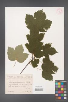Acer pseudoplatanus [KOR 31a]