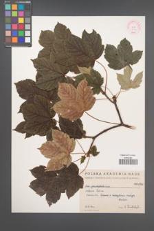 Acer pseudoplatanus [KOR 64b]