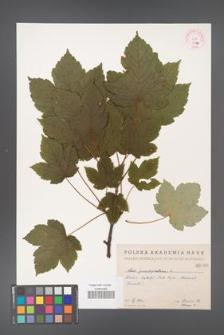 Acer pseudoplatanus [KOR 66a]