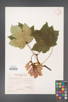 Acer pseudoplatanus [KOR 20880]