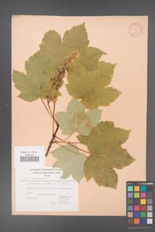 Acer pseudoplatanus [KOR 20881]