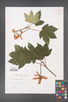 Acer pseudoplatanus [KOR 40244]