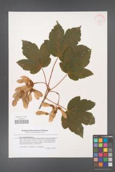 Acer pseudoplatanus [KOR 43584]