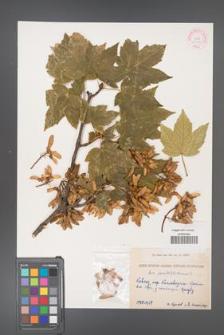 Acer pseudoplatanus [KOR 11478]
