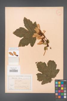 Acer pseudoplatanus [KOR 11452]