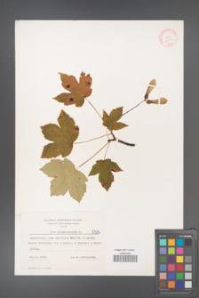 Acer pseudoplatanus [KOR 5515]