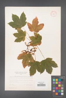 Acer pseudoplatanus [KOR 5506]