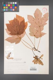 Acer pseudoplatanus [KOR 5505]